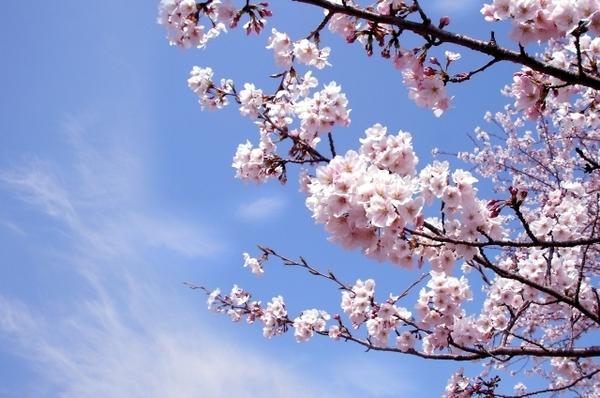 ブログ写真【桜】